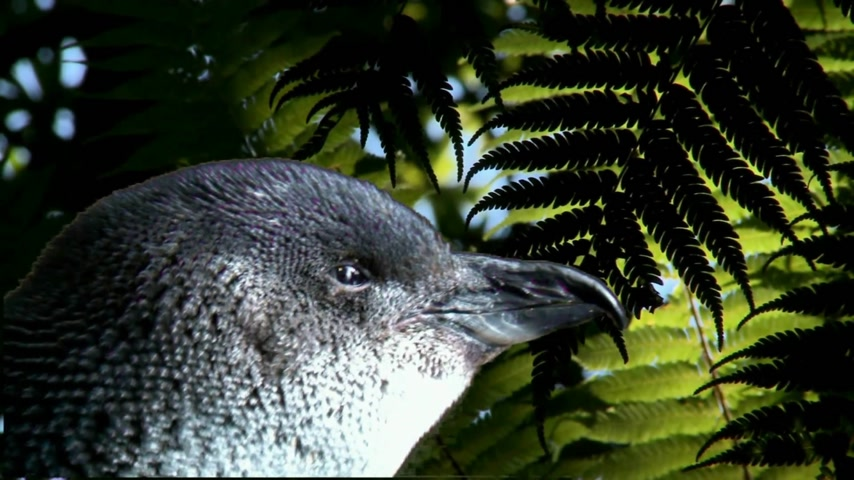 kapradina : Oamaru, New Zealand. Close up of Blue Penguin amongst ferns in. Oamaru and Dunedin are well known for its Blue Penguin colonies.