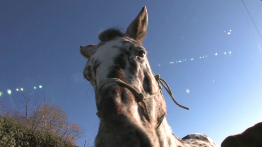 atenção : Cadrona, New Zealand. Close up of horse harnessed ready for early morning trek Stock Footage
