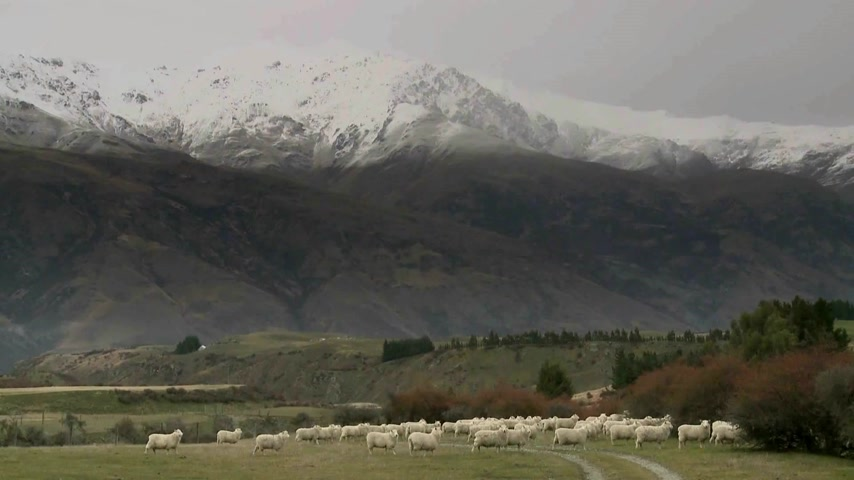 savci : Cadrona, New Zealand. Sheep walking through the historic gold mining valleys and high country farm plateaus of Cadrona with a backdrop of the Cardrona mountains and valley.  Dostupné videozáznamy