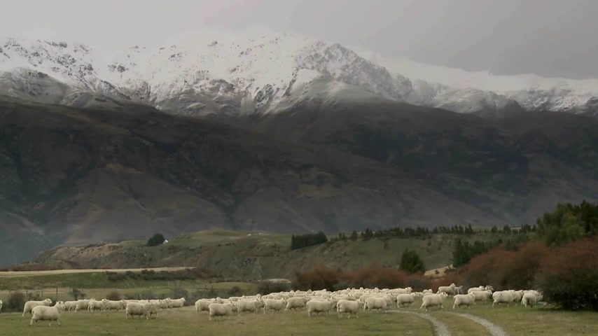 otlak : Cadrona, New Zealand. Sheep walking through the historic gold mining valleys and high country farm plateaus of Cadrona with a backdrop of the Cardrona mountains and valley.  Stok Video