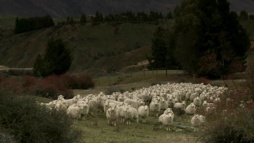 Új zéland : Cadrona, New Zealand. Zoom out from sheep standing in the historic gold mining valleys and high country farm plateaus of Cadrona with a backdrop of the Cardrona mountains. Stock mozgókép
