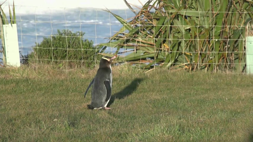 pinguim : DUNEDIN, NEW ZEALAND. The yellow Eyed Penguins return to the land each evening on dusk and are viewed from hides on the Otago Peninsula in a natural environment. Vídeos