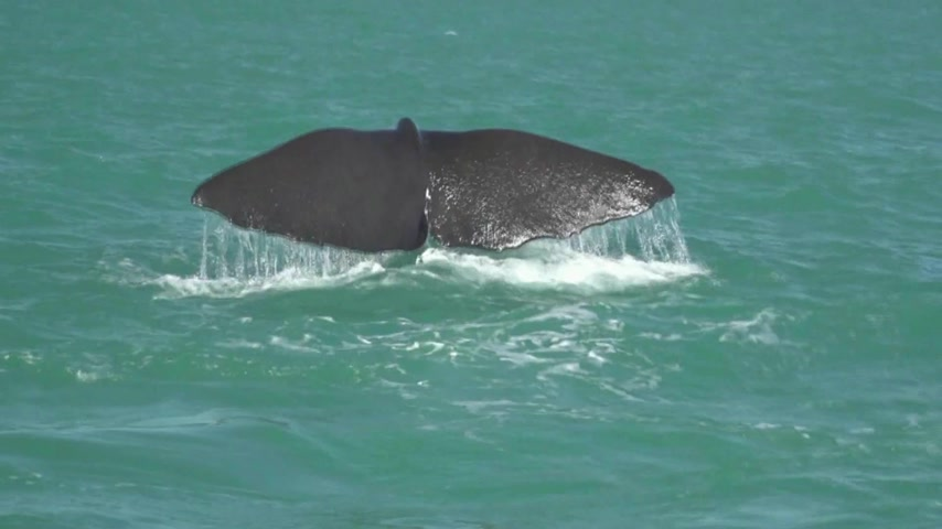 wieloryb : Kaikoura, New Zealand. A whale draws its last air.