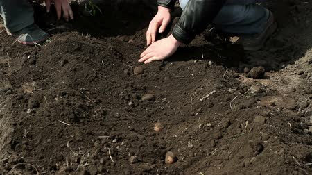 papa : The hands of agronomist digging potato tubers out of the ground Vídeos