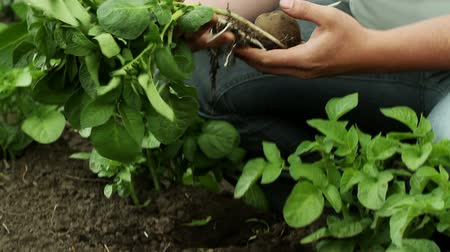 brambory : Agronomist examining potato plants in the field
