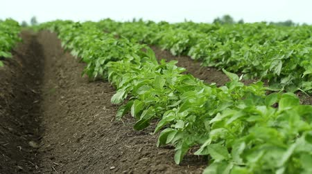 cultivar : Green potato plants growing in the field Vídeos