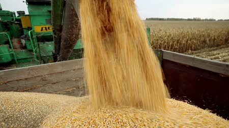 кукуруза : Combine harvester unloaded corn grains in truck Стоковые видеозаписи