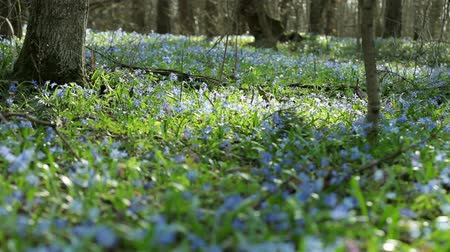 zálesí : Bluebells in spring forest