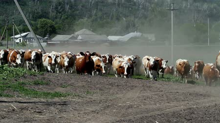 sağlamak : Dairy cows returning from the pasture to the farm