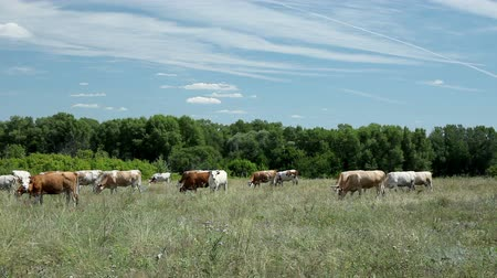 луг : Dairy cows grazing on grass in the pasture
