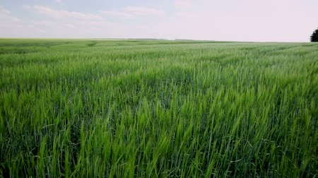 sty : The field of wheat. Young shoots of wheat. Stock Footage