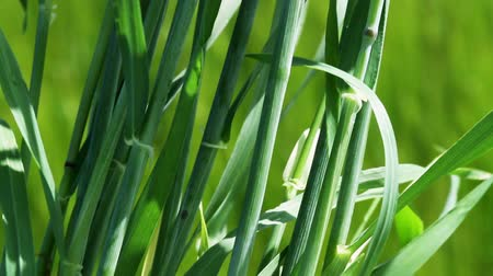 sty : Green stems and leaves of wheat plants Stock Footage