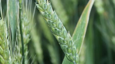 sty : The field of wheat. Spike of wheat with ripening grains.