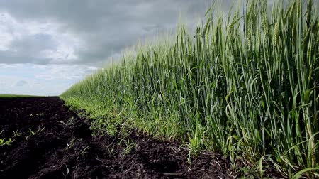 sty : The field of ripening wheat Stock Footage