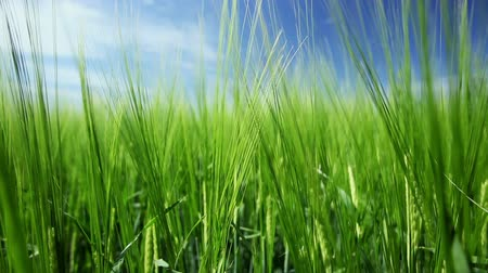 sty : The field of green young wheat. Stock Footage