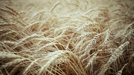 sty : A field of wheat. Spikes of wheat with ripe grains.