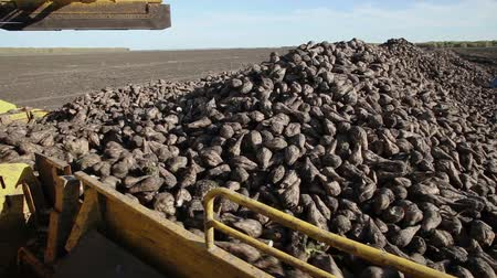 tractor trailer : The harvest of sugar beet Stock Footage