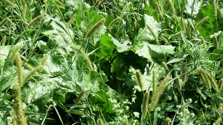 zararlı : Weeds in sugar beet field