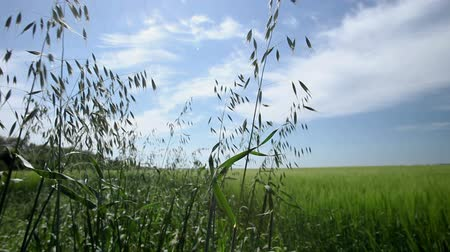 zararlı : Weeds in a field of cereal plants