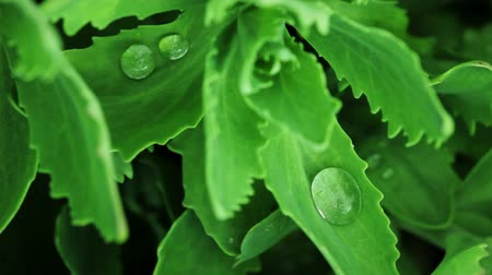 sedum : Floral garden. The dew drops lying on the green leaves of sedum matrona. Stock Footage