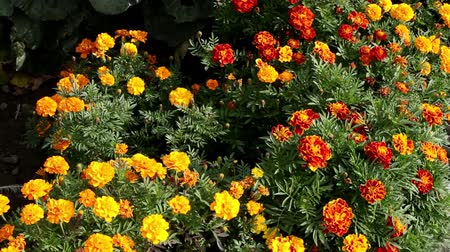 canteiro de flores : The exterior of a garden. A flowerbed with bright yellow and orange flowers. Vídeos