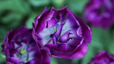 estigma : Floral garden. The close-up shot of the purple blooming  tulip with open petals.