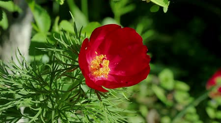 estigma : Floral garden. The close-up shot of the one red blooming  peony with open petals