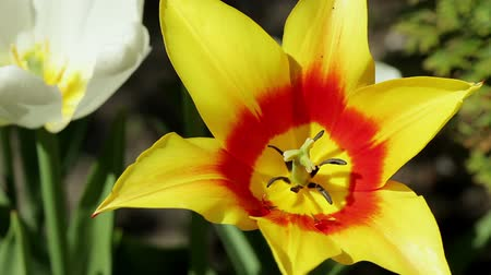 estigma : Floral garden. The close-up shot of the one blooming tulip with open petals.