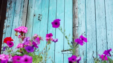 wicket : Flowering plants. Purple flowers growing opposite blue wooden fence and gate. HD