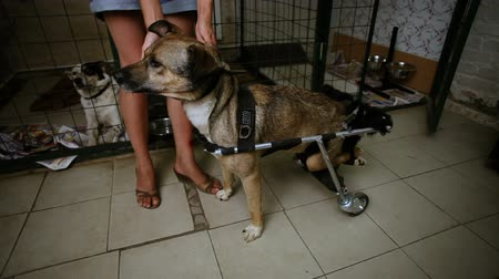 cur : Homeless animals. A stray mongrel dog with paralyzed hind legs in the wheelchair at animal shelter. HD