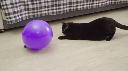 kittens playing : Pets. One black cat playing with a violet balloon on the floor of living room. 4K