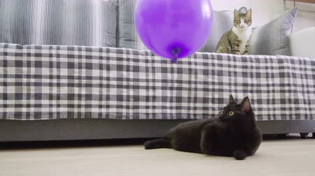 rövidszőrű : Pets. One black cat playing with a violet balloon and blowing up it on the floor of living room. 4K