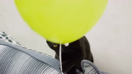 foco no primeiro plano : Domestic animals. One black cat playing with a yellow balloon on the sofa. 4K