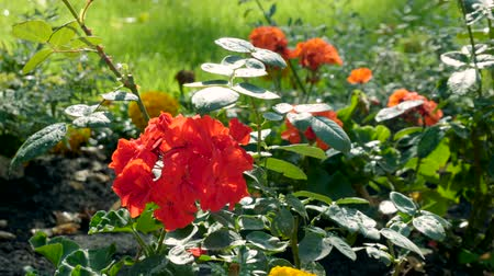 пригородный : The exterior of a garden. A flowerbed with bright yellow and red flowers. HD