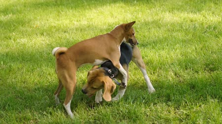 язык : Dog walking. Basenji dog and beagle playing on a green grass in a summer park. HD Стоковые видеозаписи
