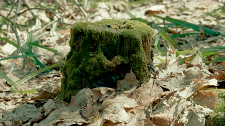 koçan : One old tree stump overgrown with green moss in the spring forest. 4K