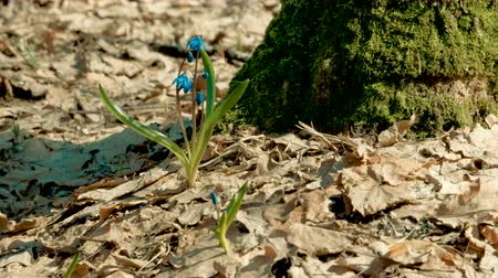 koçan : The first bluebells with blue flowers growing near tree in a spring forest. 4K Stok Video