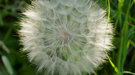 explodindo : Dandelion seeds. Close-up shot of dandelions head against bright green grass. 4K Stock Footage
