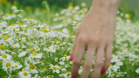 Wild flowers. Close-up shot of a womens hand touching white daisies in the summer meadow. 4K