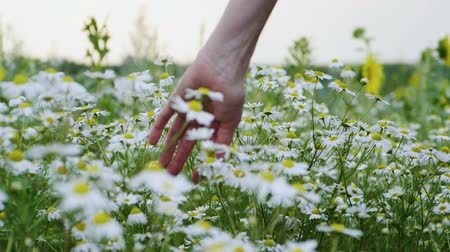 camomile : Wild flower meadow. Close-up shot of a female hand touching camomiles in the summer field. Slow motion. HD