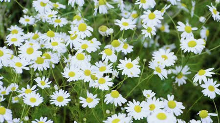 camomile : Wild flowers. Close-up shot of blooming white daisies in the summer field. Slow motion. HD Stock Footage