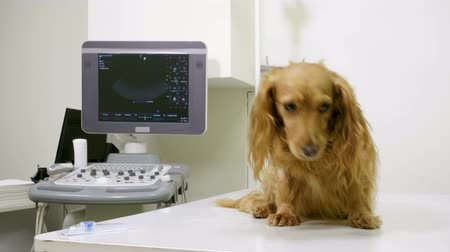 tacskó : A vet putting an intravenous catheter in a paw of dachshund dog in veterinary clinic. 4K