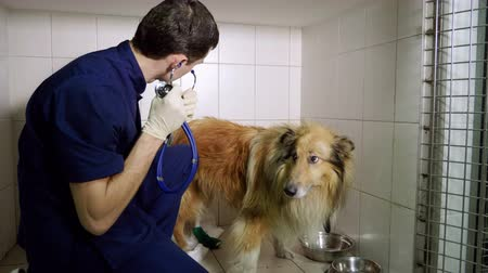 tlapky : The vet examining the collie dog using stethoscope in the veterinary clinic. 4K