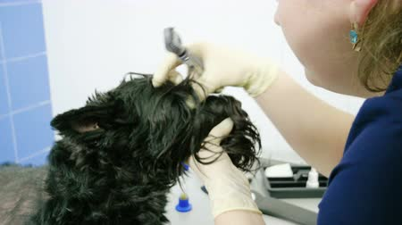 okulista : The veterinarian ophthalmologist examining eyes of scottish terrier in a animal hospital. 4K Wideo