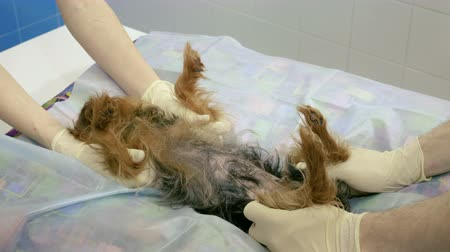 zkoumat : Medical scan. Yorkshire terrier is on ultrasound examining in a veterinary clinic. 4K