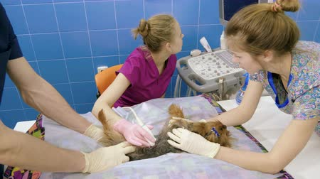 сканер : Medical scan. Yorkshire terrier is on ultrasound examining in a veterinary clinic. 4K