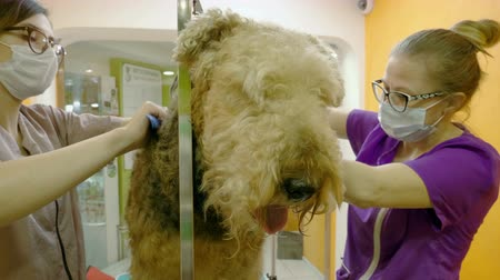 airedale : Pet grooming salon. Two women cleaning the fur and skin of airedale terrier dog. 4K