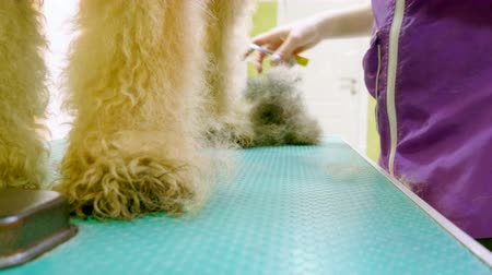 airedale : Pet grooming salon. Woman cleaning the fur and skin of airedale terrier dog. 4K