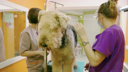 airedale : Female groomers grooming an irish terrier dog with an animal brush in hair salon. 4K