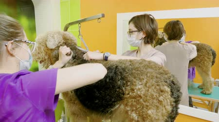 ветеринар : Female groomers grooming an irish terrier dog with an animal brush in hair salon. 4K